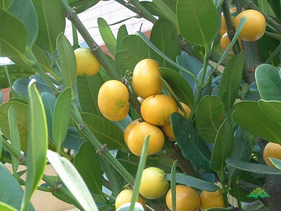 ...熟时金黄色表面光滑散发着淡淡的似水果之王榴莲的香味.